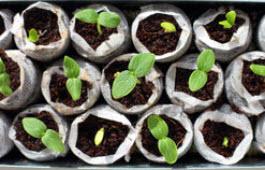 agurk små planter